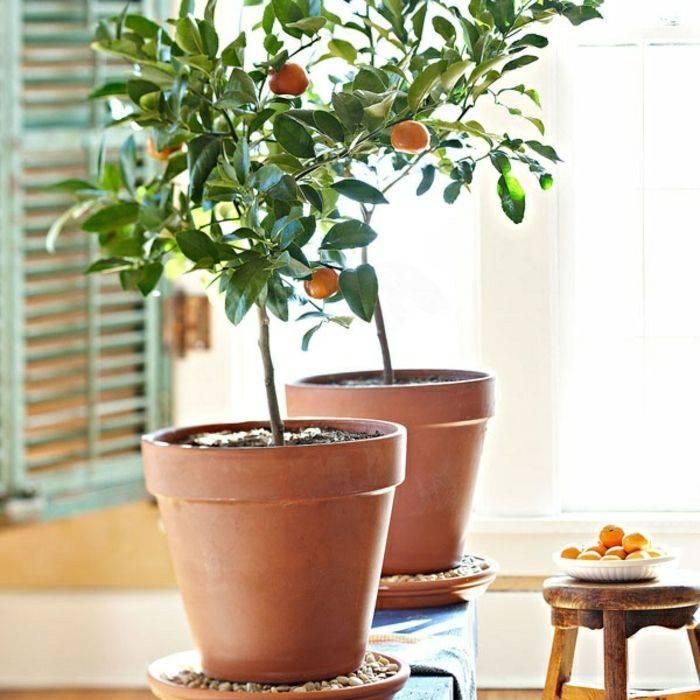 Выращивание мушмулы на садовом участке и особенности ухода за деревом