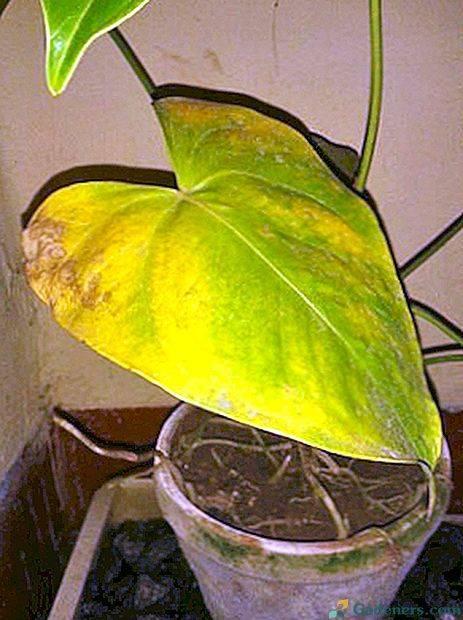Почему у комнатного антуриума желтеют листья?