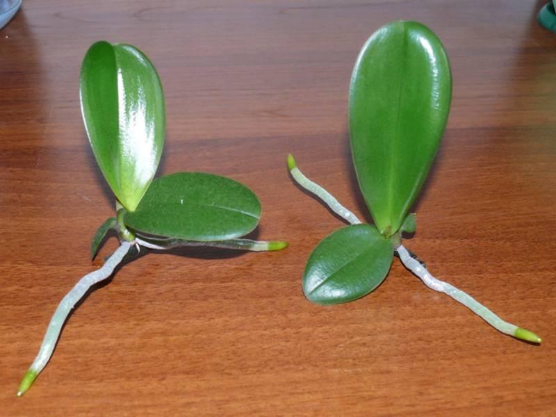 Размножение орхидеи детками: инструкция по тому, как провести его в домашних условиях, фото процедуры и советы по дальнейшему уходу