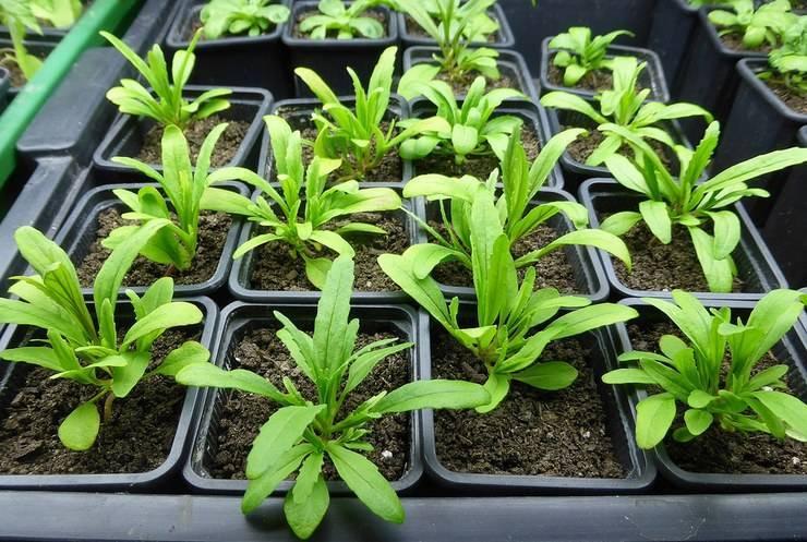Немезия: посадка и уход в открытом грунте, виды и сорта с фото, выращивание из семян в домашних условиях