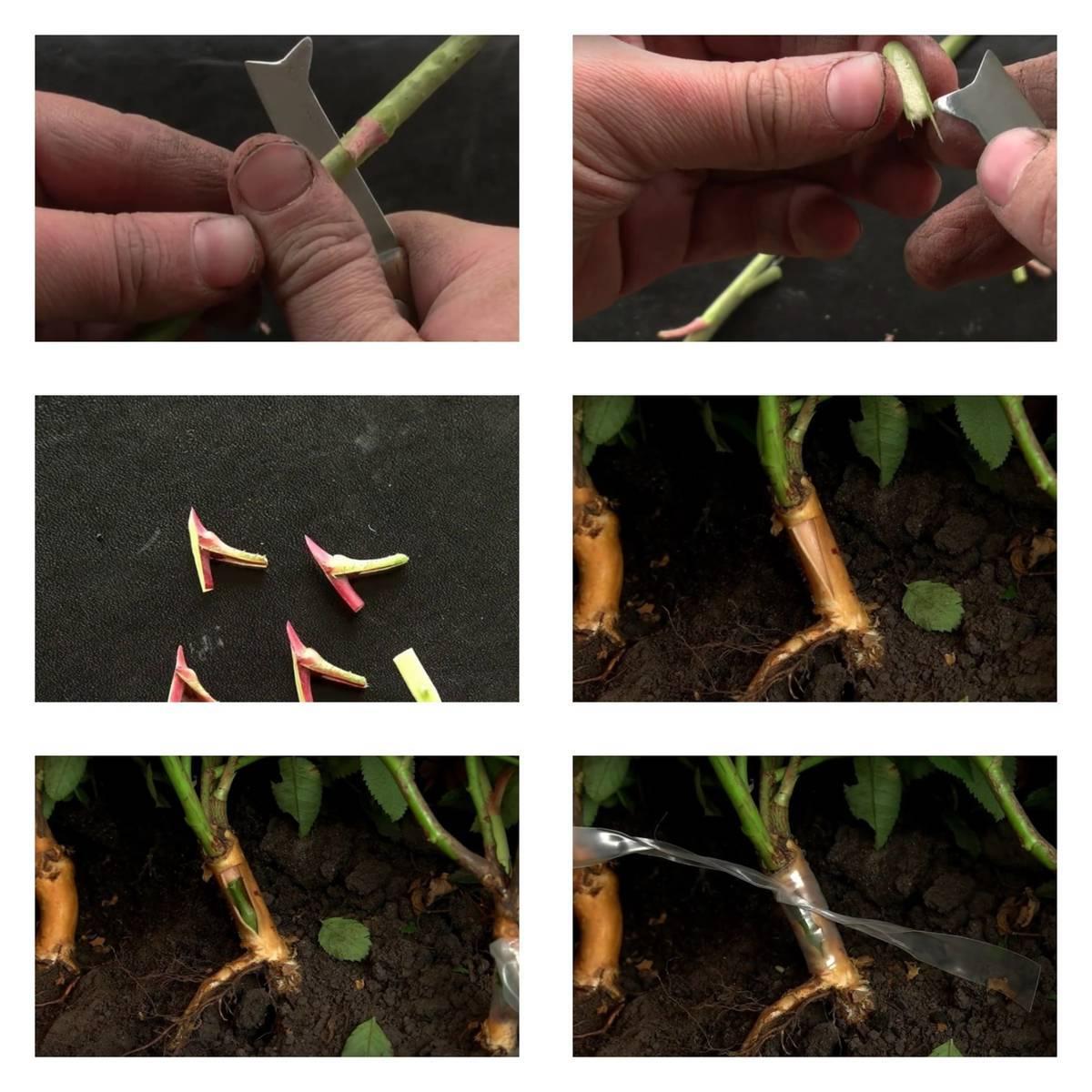 Как прививать розы на шиповник