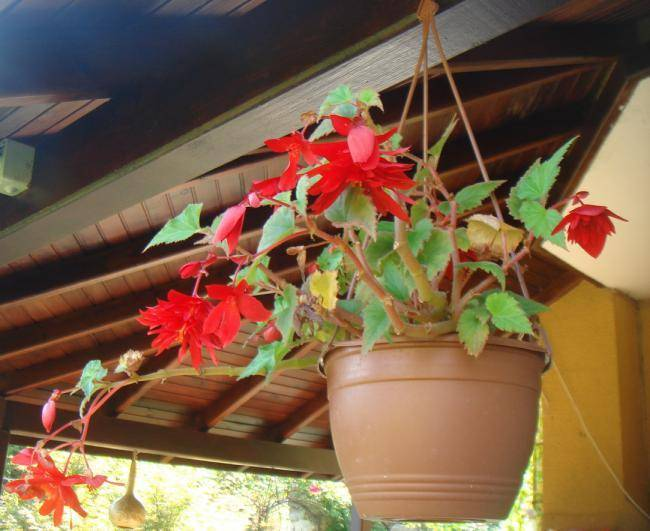 Создаем настроение дома – выращиваем бегонию ампельную