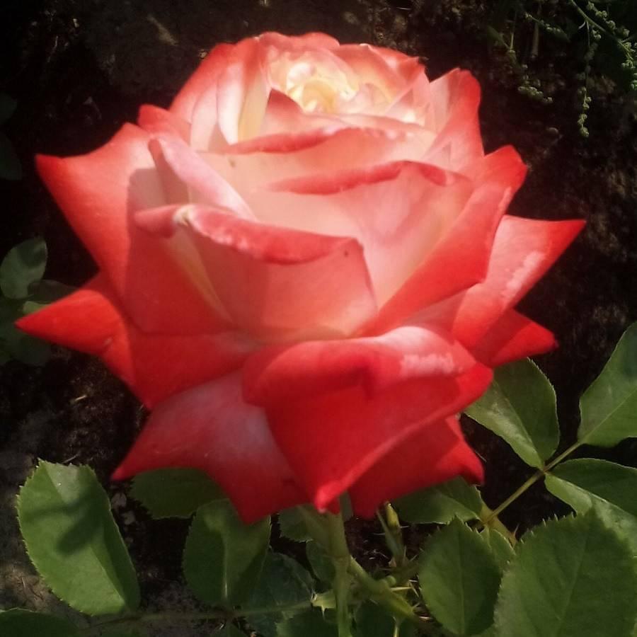 Роза чайно-гибридная беролина - описание сорта и особенности ухода | о розе