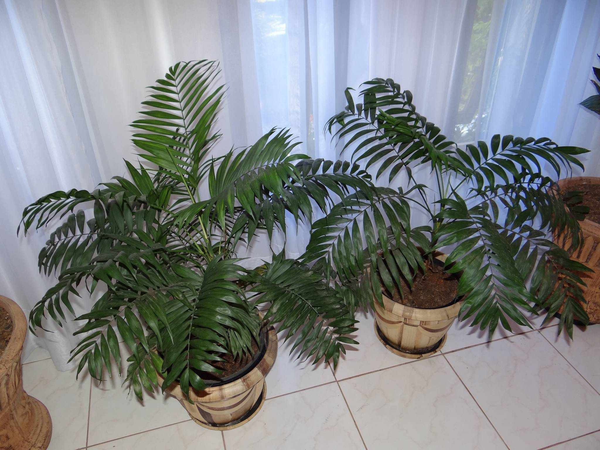 Выращивание хамедореи в домашних условиях