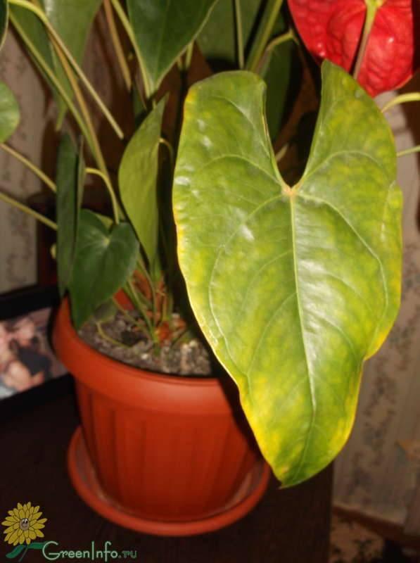 """Почему у антуриума сохнут кончики листьев: какие причины могут вызвать этот процесс у цветка, что с этим делать и как ухаживать за """"мужским счастьем""""?"""