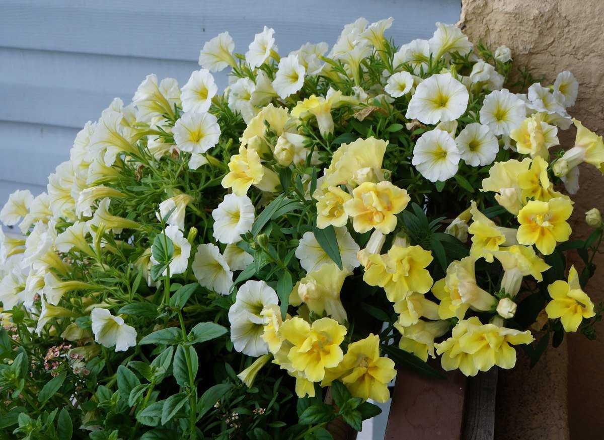 Какая петуния подходит именно вам: выбираем правильный цветок