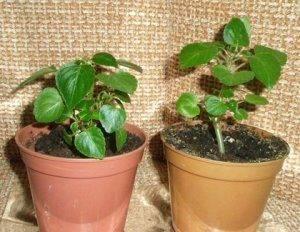 Размножение бальзамина: как размножить его черенкованием в домашних условиях, правильная посадка и укоренение, вегетативный опыт
