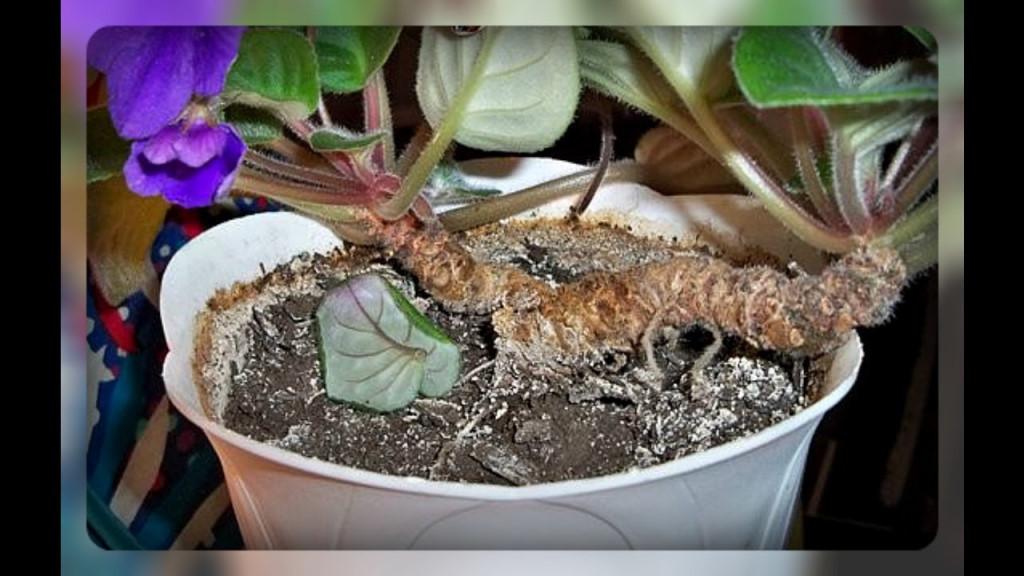 Размножение фиалок (сенполий) в домашних условиях листом, цветоносом и другими способами, пошагово с фото