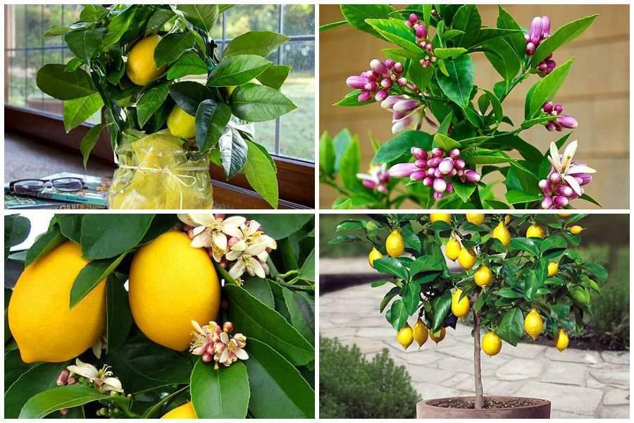 Способы размножения китайского лимонника