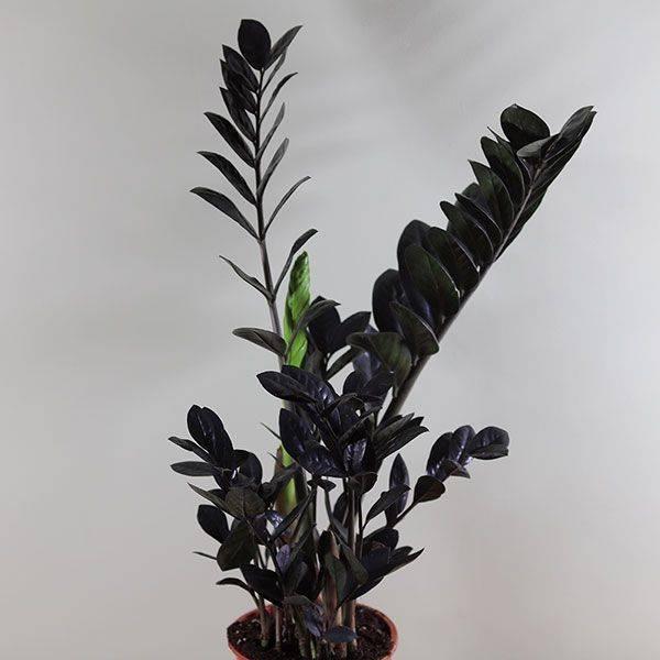 Черный замиокулькас: особенности сорта и выращивание