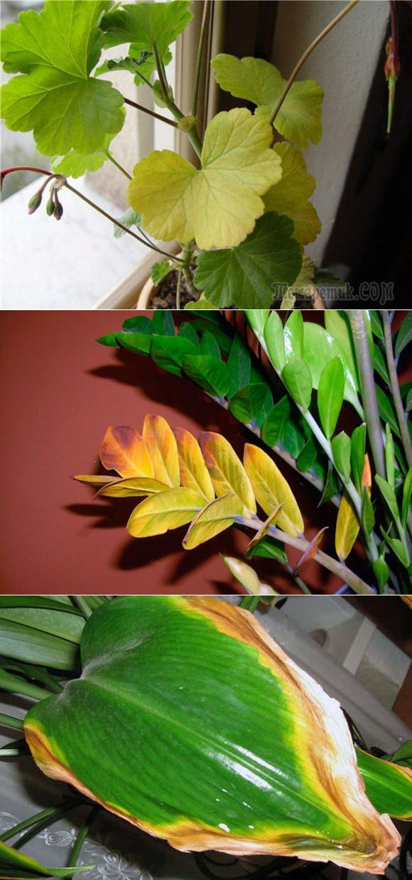 Желтеют листья у замиокулькаса: что делать, если «долларовое дерево» сохнет и у него желтеют кончики листьев? по каким причинам желтеют ветки? правила ухода за цветком в домашних условиях