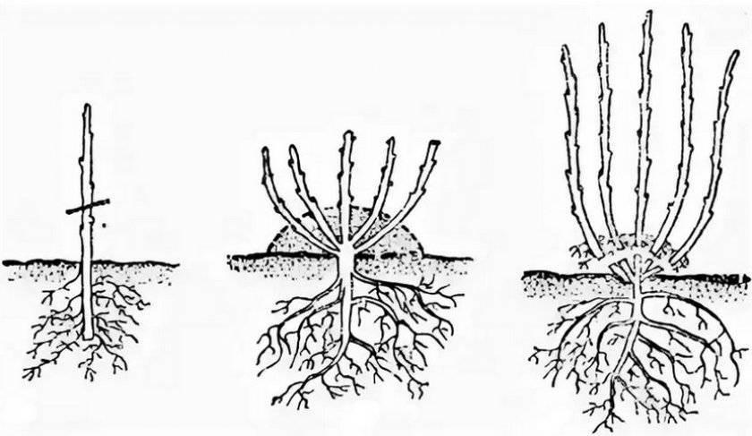 Лапчатка: посадка и выращивание, уход и свойства
