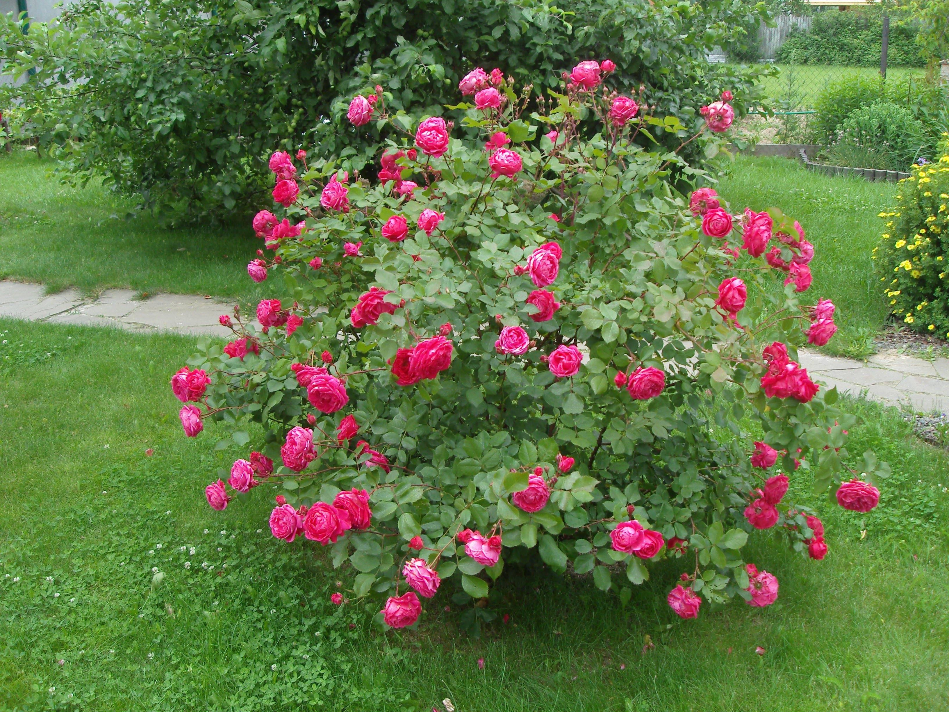 Роза морден сентенниал (morden centennial) — описание сорта