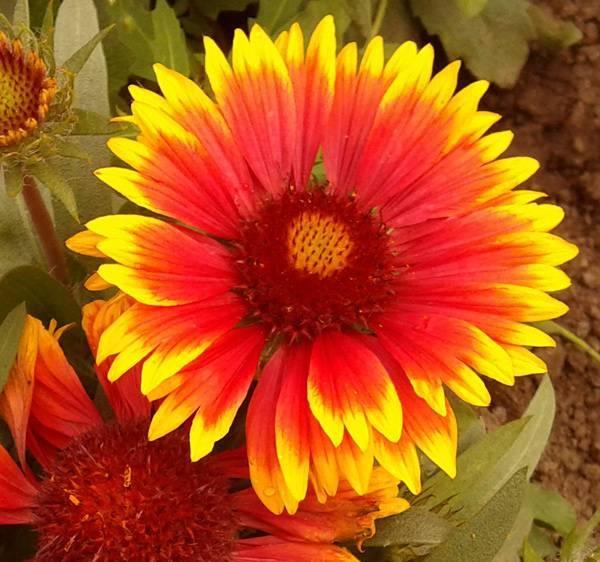 Гайлардия многолетняя: виды и сорта, особенности посадки и ухода
