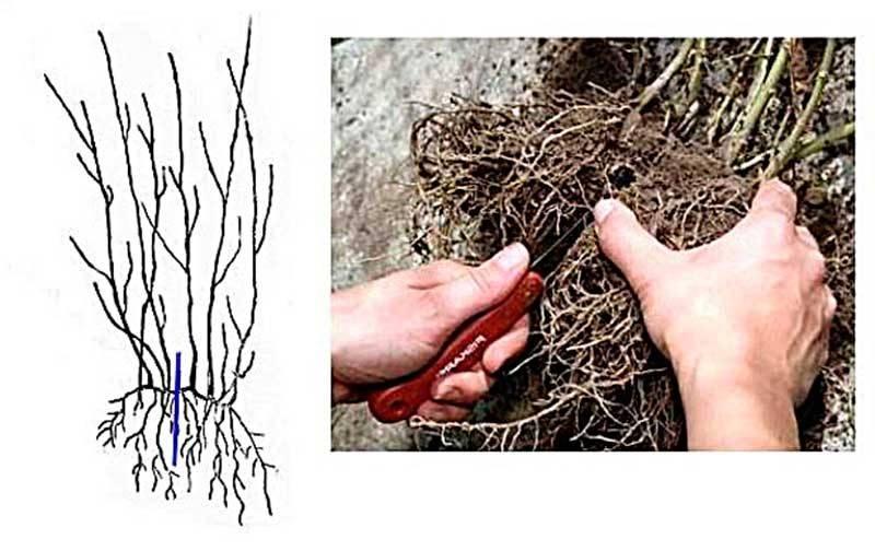 Лаванда: особенности растения, способы размножения