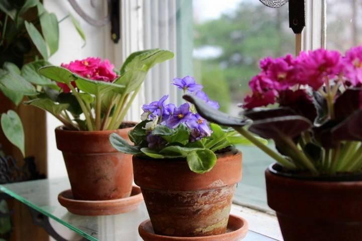 Можно или нельзя держать фиалки дома и как растение влияет на личную жизнь