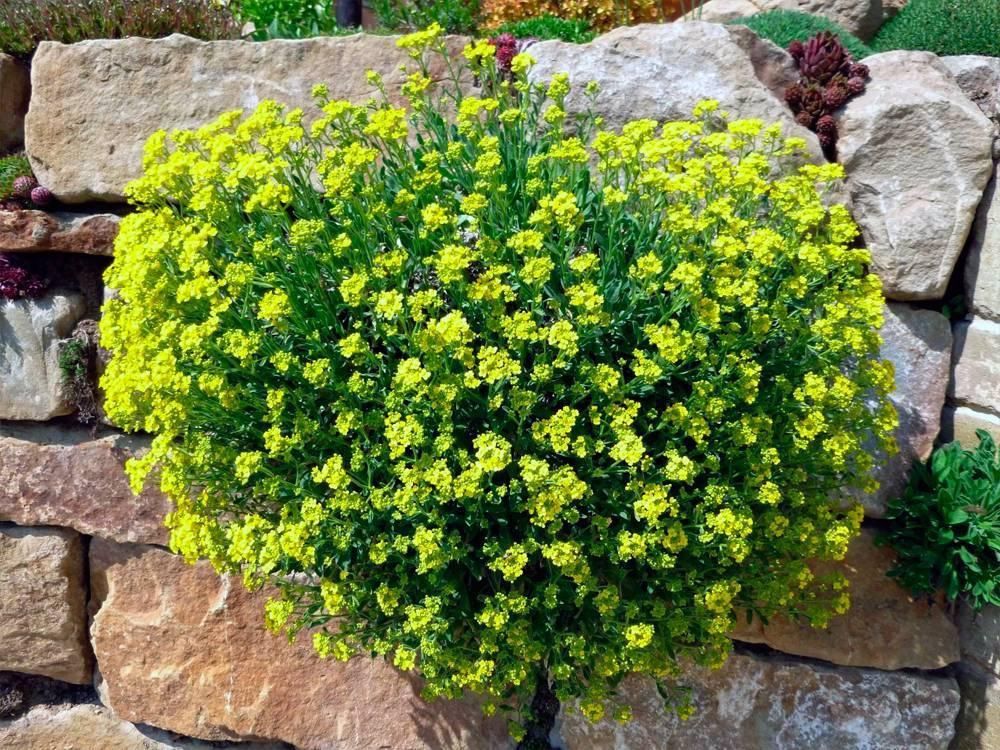 Алиссум многолетний (41 фото): посадка и уход в открытом грунте, желтые и другие сорта многолетника, посадка цветка под зиму, выращивание из семян