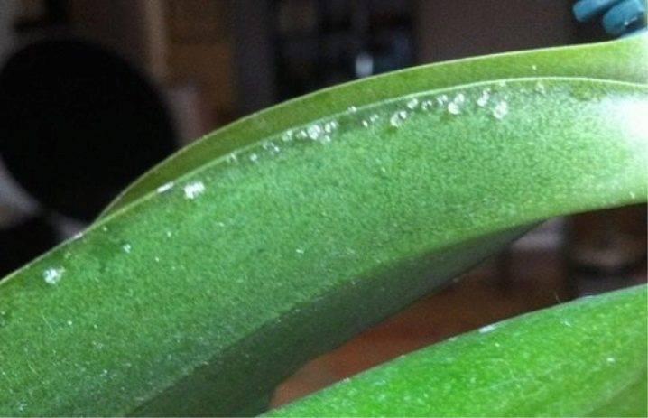 Липкие капли на листьях и других частях орхидеи – почему такое случается и как решить проблему?