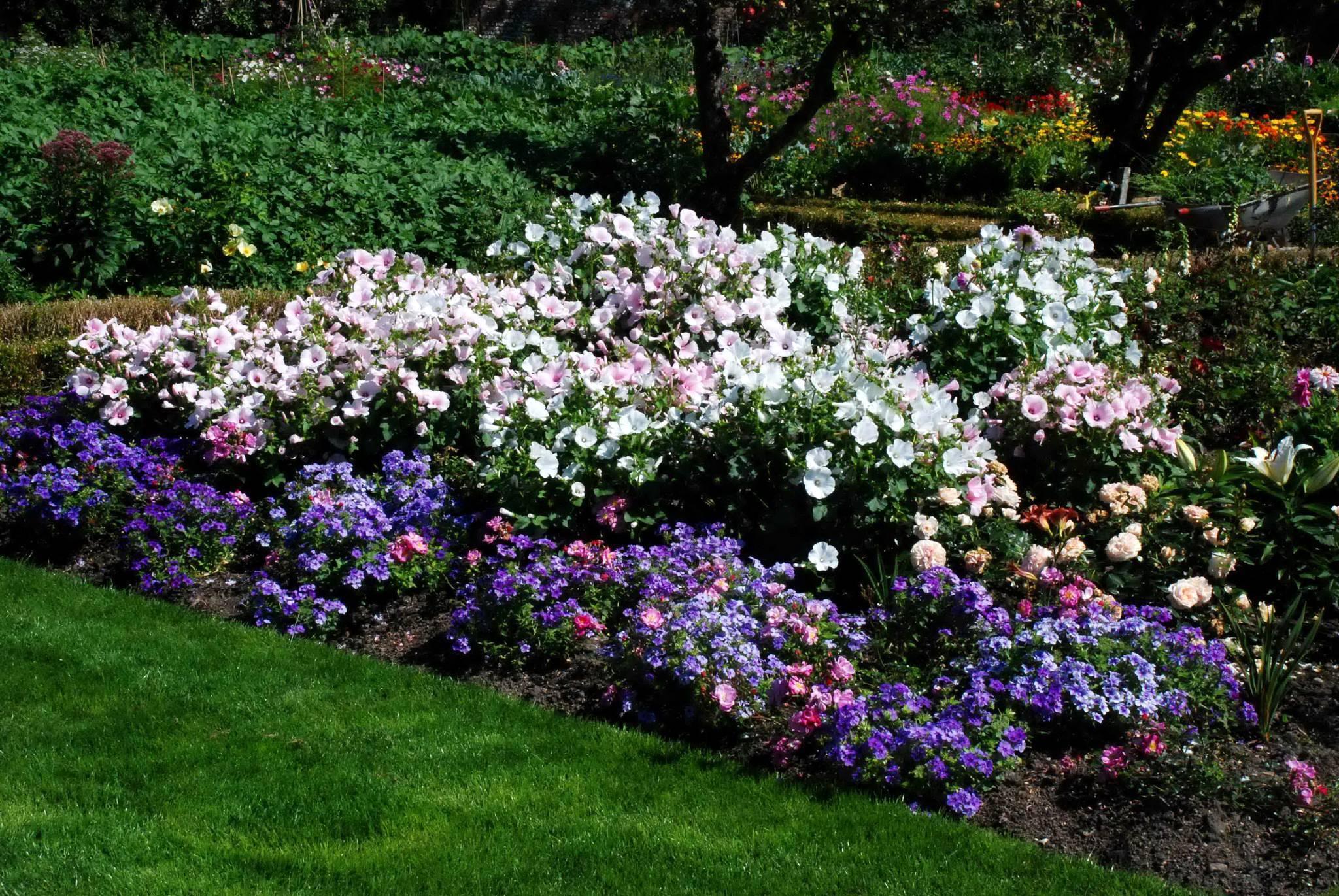 Садовая герань многолетняя — посадка и уход