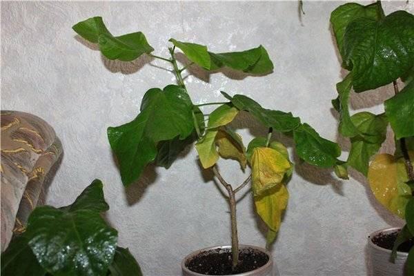 Роза сбрасывает листья: в чем причины опадания во время цветения, почему