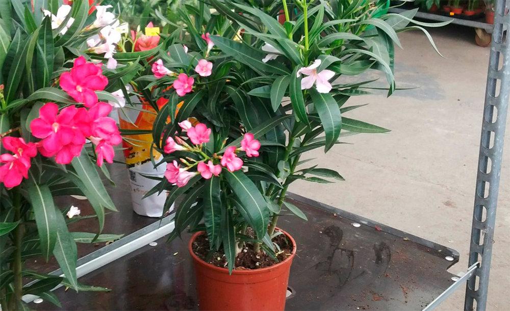 Олеандр (цветок): описание, виды, посадка и уход