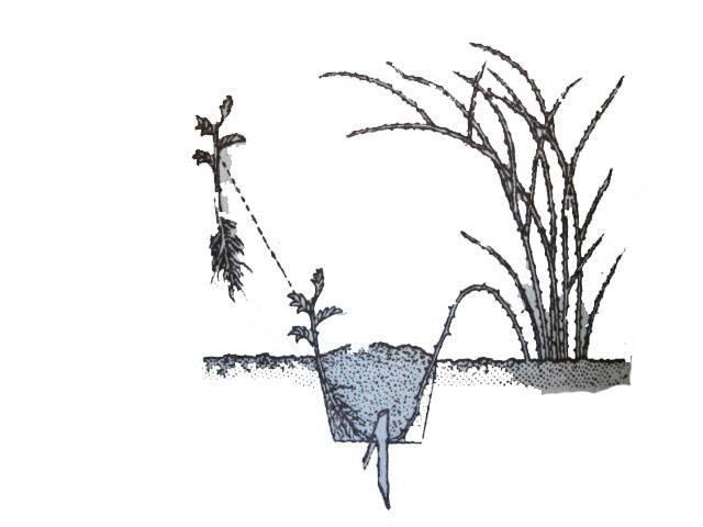 Как размножить розу – 8 способов: семена, черенки, отводками и т.д.