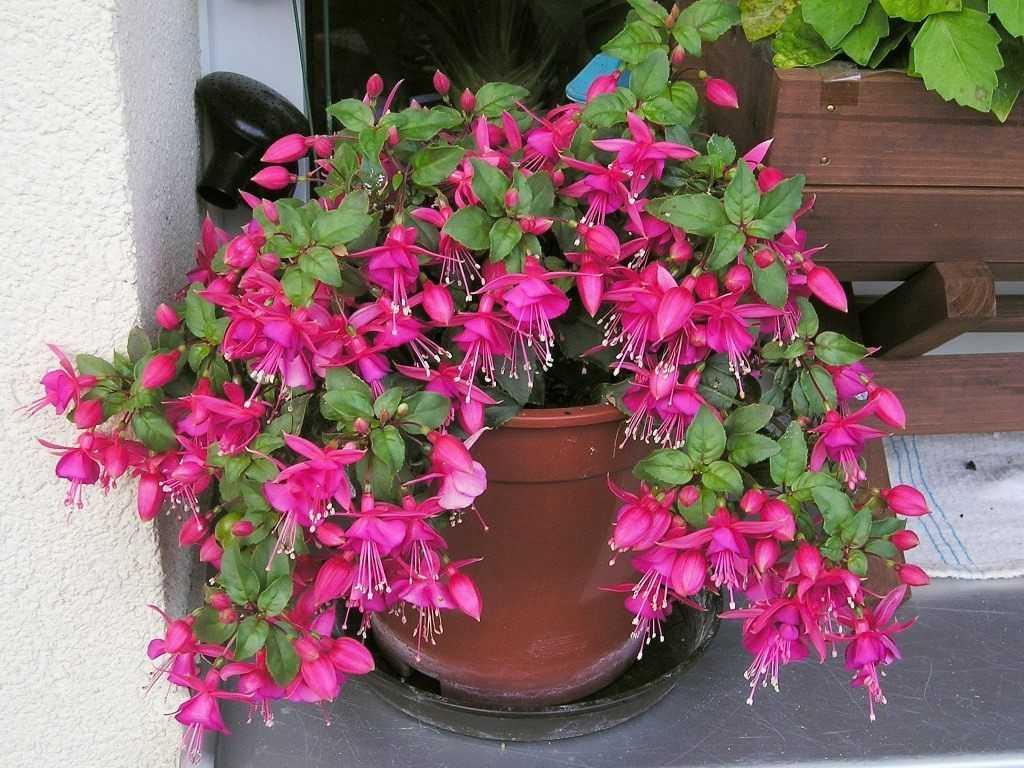 Цветок фуксия: описание, выращивание и уход в домашних условиях