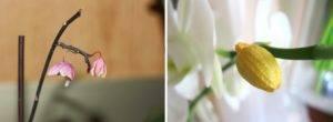 Подробно о том, почему желтеют нераспустившиеся бутоны у орхидеи