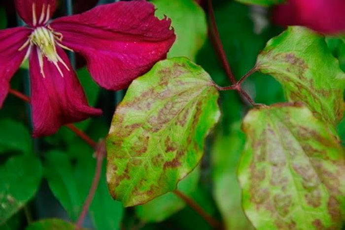 Почему у клематиса желтеют и сохнут листья: что делать. из-за чего у клематисов сохнут листья – как предотвратить увядание клематис вянут листья