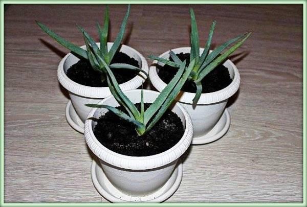 Выращивание, уход и размножение алоэ дома