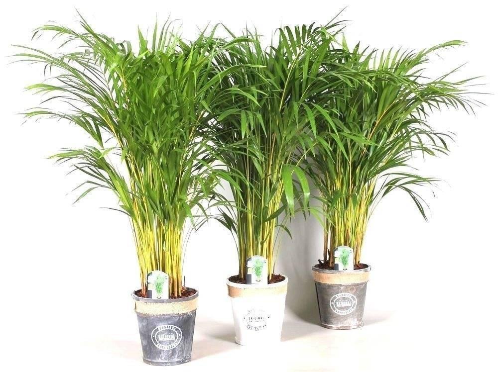 Арека (комнатное растение): описание растения, способы ухода в домашних условиях, фото