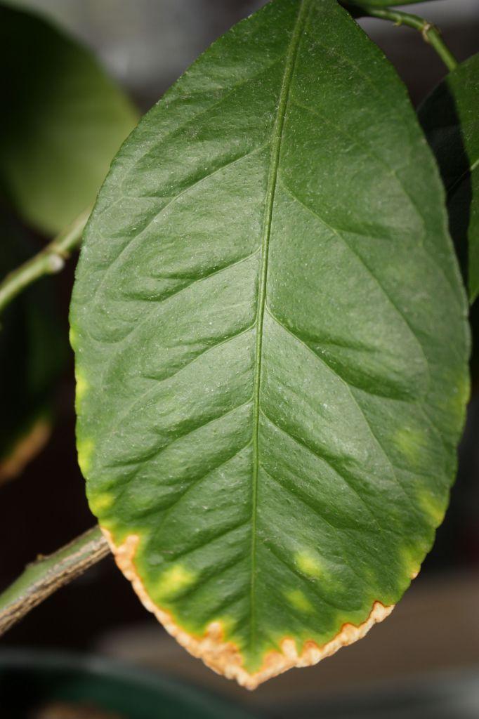 Почему у лимона листья липкие или с белым налетом: как в домашних условиях избавиться от проблемы, убрать причину разводов на комнатном растении, провести лечение?