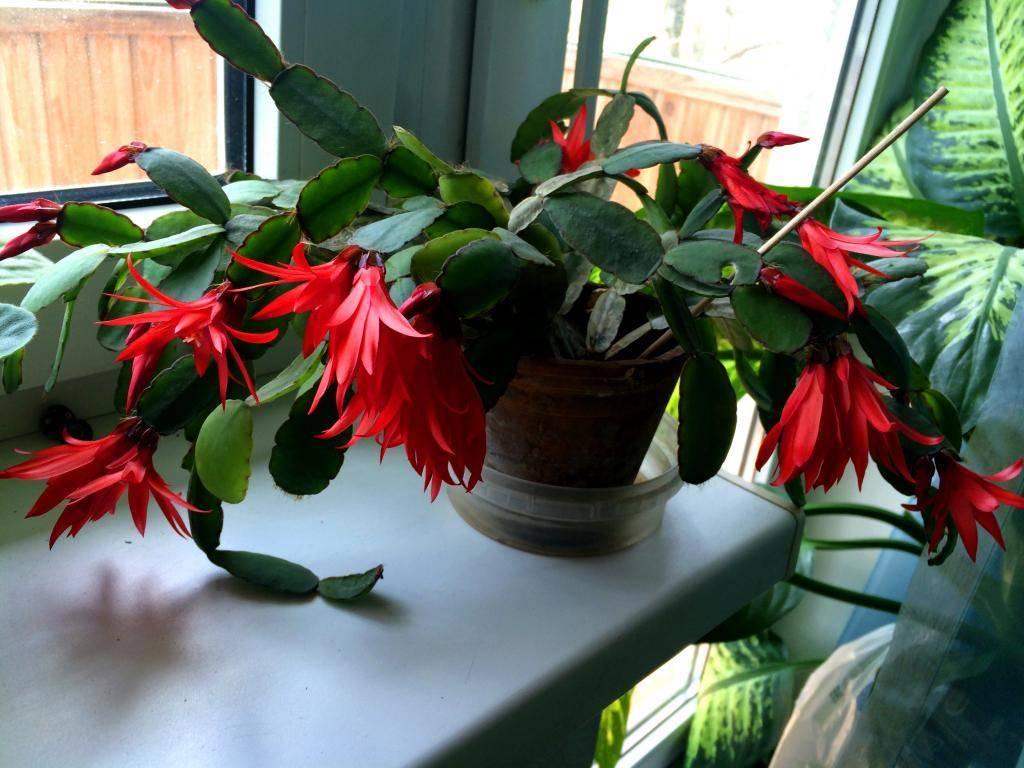 Декабрист: уход в домашних условиях, фото, пересадка, почему не цветет