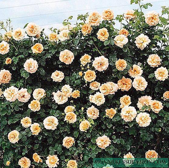 Плетистая роза «пьер де ронсар» (19 фото): описание сорта, особенности посадки и ухода, отзывы