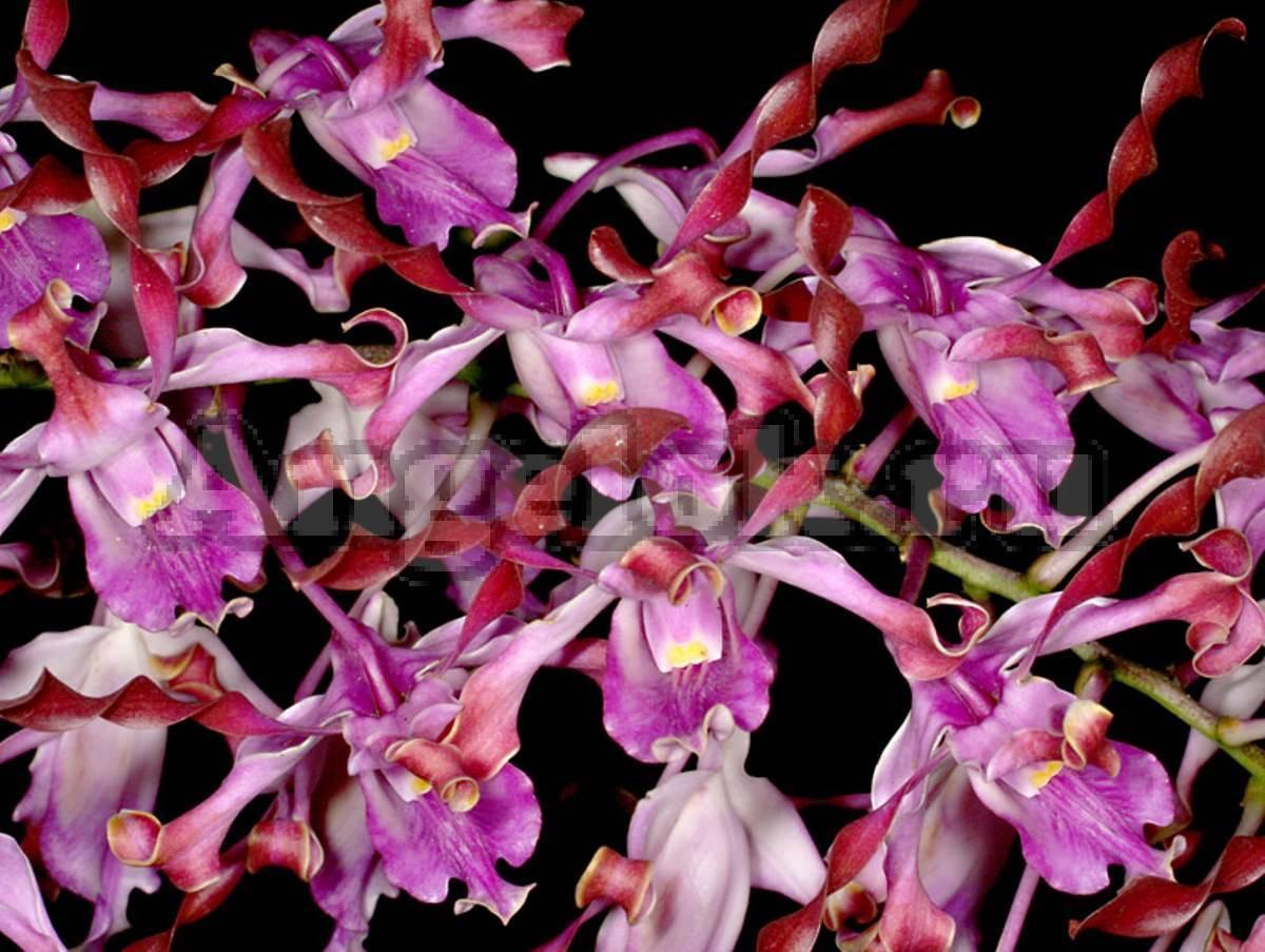 Драгоценные орхидеи: виды, посадка и уход
