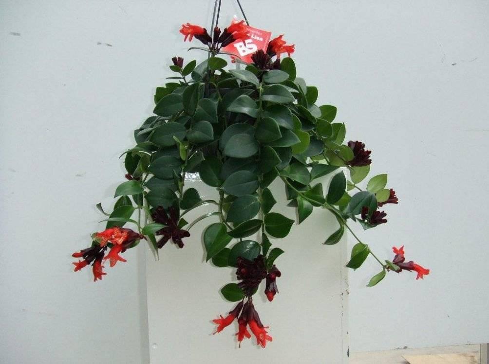 Красивый и капризный эсхинантус: правильный уход или как заставить выходца из тропических джунглей хорошо расти и регулярно цвести в домашних условиях