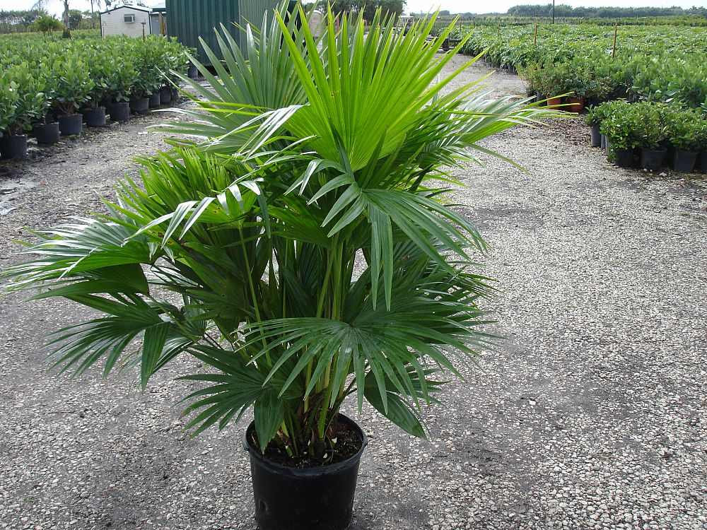Выращивание пальмы ливистона в помещении