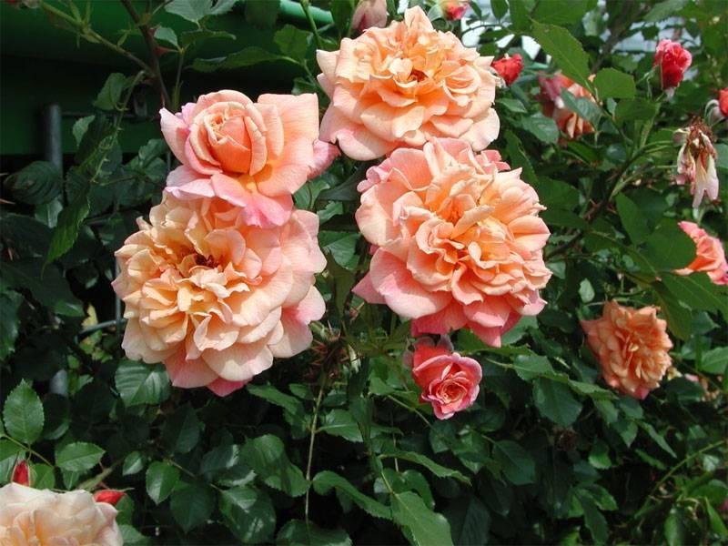 Плетистая роза «казино»: описание сорта, посадка и уход