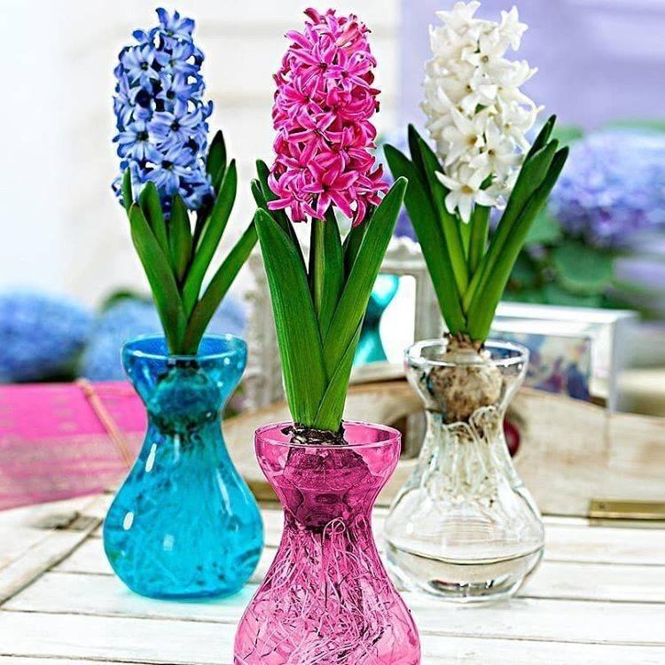Гиацинт в горшке (40 фото): уход за комнатными цветами, посадка в домашних условиях. как вырастить растение дома в горшочке?