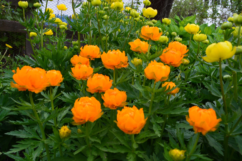 Цветы безвременник осенний, великолепный: посадка и уход, когда пересаживать