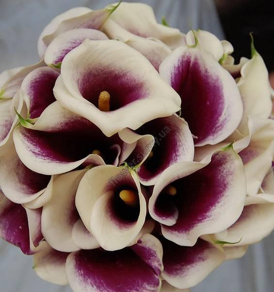 Цветы фиолетовые каллы: фото гибридов и описание выращивания
