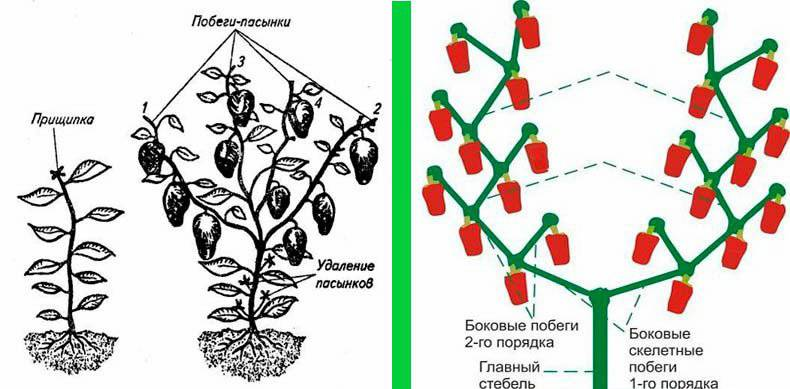Подготовка, проращивание и посадка клубней георгин