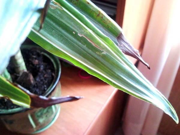 Из-за чего засыхают концы листьев у драцен: какие причины, болезни, вредители