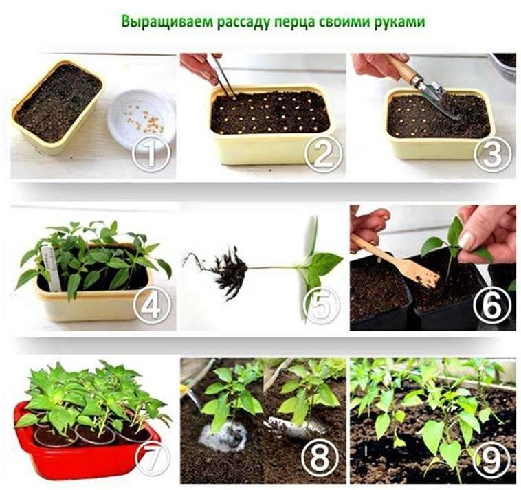 Астры выращивание из семян когда сажать