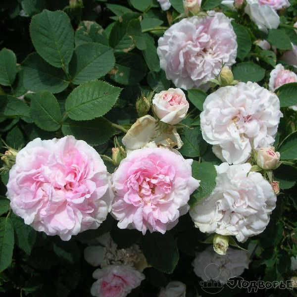 Описание розы флорибунда сорта поэзия: как посадить и ухаживать за кустом в саду