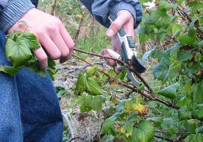Крыжовник малахит — что делать с растением после сбора ягод