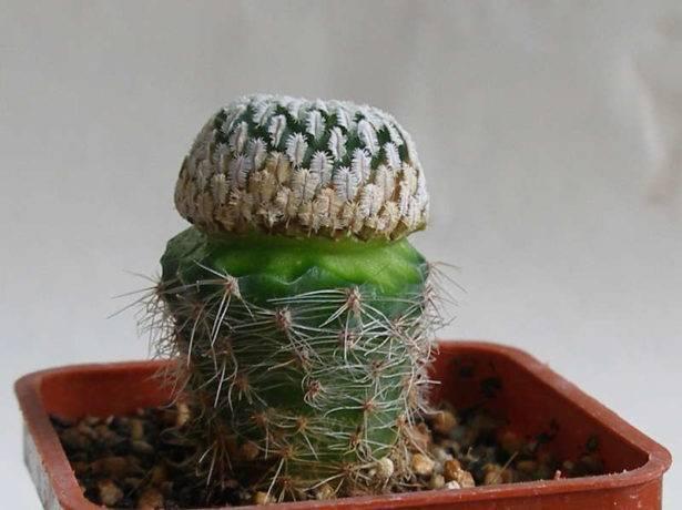 Все о размножении кактусов