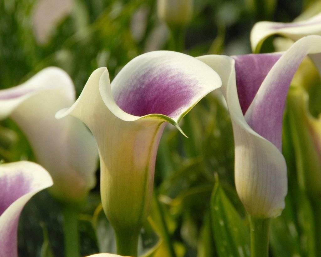 Изучаем сорта каллы – цветы для невесты