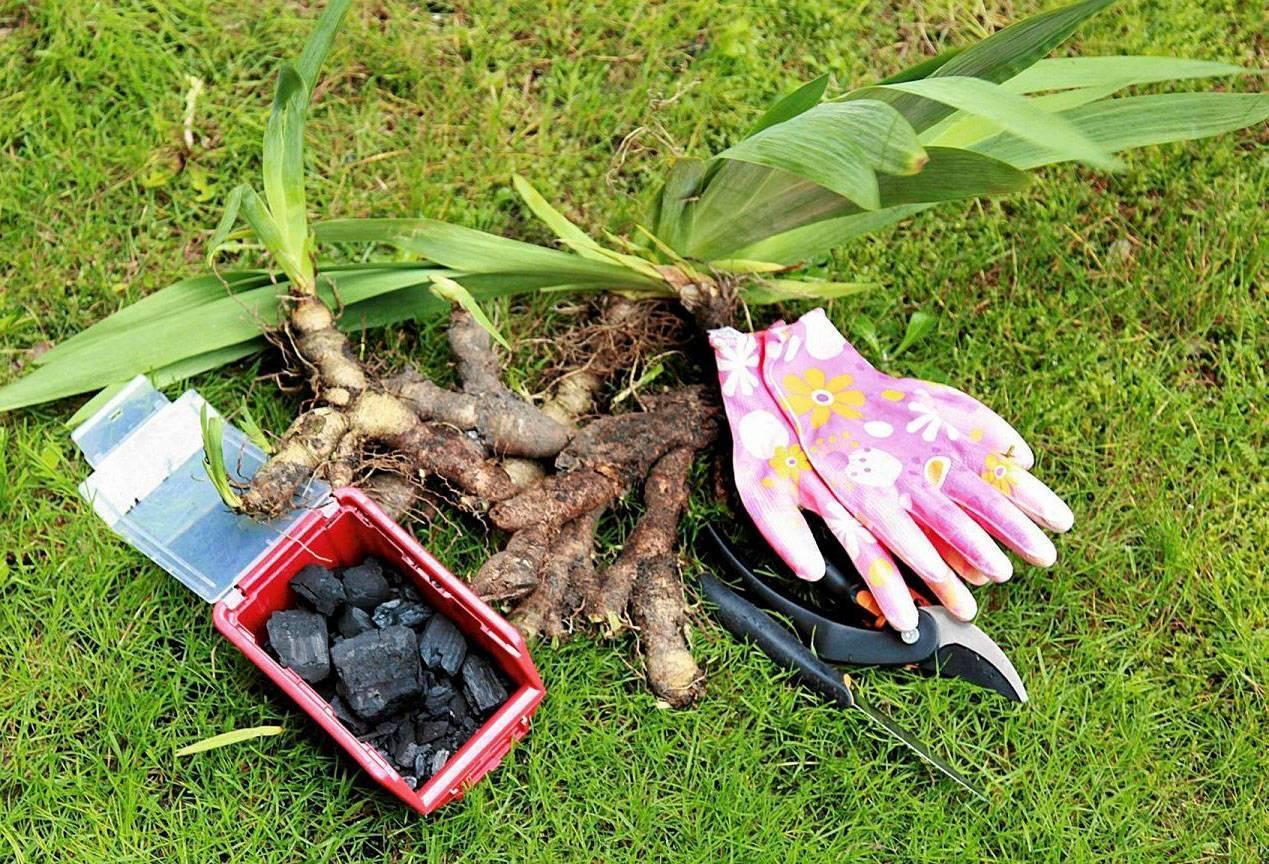 Как посадить и вырастить лилейники?