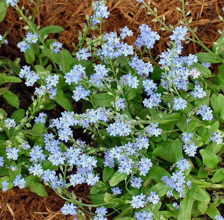 Незабудка цветок — описание и характеристики растения
